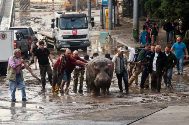 People help a hippopotamus escape from a flooded zoo in Tbilisi, Georgia, Sunday, June 14, 2015. Tigers, lions, a hippopotamus and other animals have escaped from the zoo in Georgiaís capital after heavy flooding destroyed their enclosures, prompting authorities to warn residents in Tbilisi to stay inside Sunday. (AP Photo/Tinatin Kiguradze)